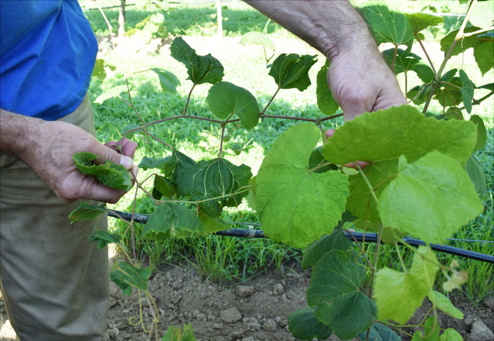 Pictured Above, Tennessee State Rep. Bill Sanderson, Owner Of White  Squirrel Winery In Kenton, Displays The Difference Between Small, Shriveled  Grape Leaves ...